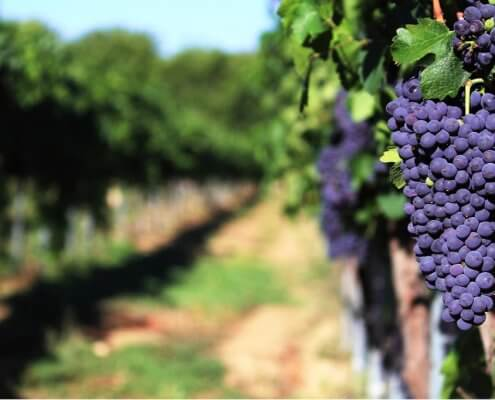 inteligentná vinica, pestovanie viniča, hrozno, víno, vinárstvo, vinohrady, internet vecí